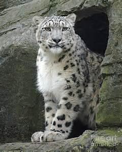 Snow Leopard Endangered Animals