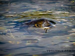 Beautiful pictures of trout, salmon, and grayling
