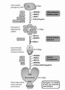 Model For The Induction Of Somatic Embryogenesis And The Development Of