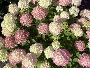Hydrangea Paniculata Schneiden : hortensie rispenhortensie 39 little lime 39 hortensientr ume ~ Lizthompson.info Haus und Dekorationen