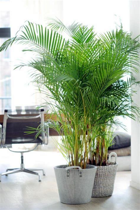 Zimmerpflanzen Richtig Pflegen 7 Tipps by Tipps F 252 R Die Richtige Pflege Der Goldfruchtpalme