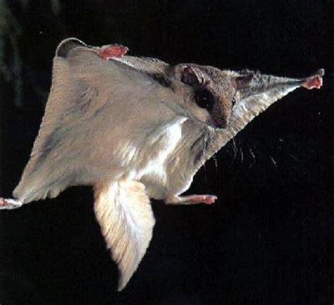uccelli non volanti il mistero degli scoiattoli volanti pikaia