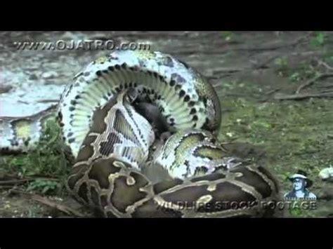 Una serpiente pitón se come a un cocodrilo YouTube