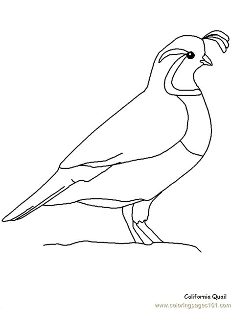 california quail coloring page  california quail