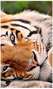 Cute Tiger Wallpapers - Wallpaper Cave