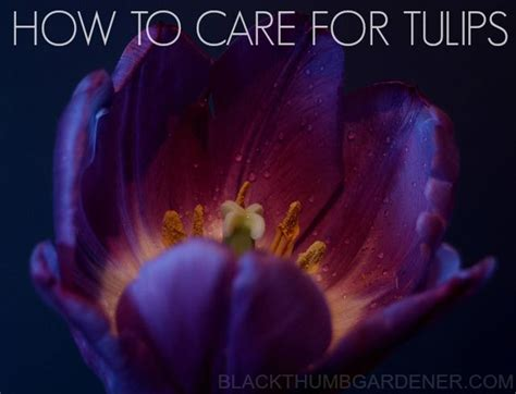 how to care for tulips tulip care how to care for tulips garden pinterest