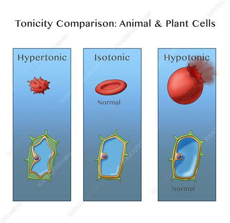 osmosis  plant  animal cells illustration stock