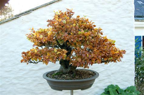 pot de culture bonsai quel pot pour mon h 234 tre breton c 233 ramique et poteries forums parlons bonsai