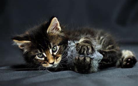 1920x1200 fond d 233 cran chat de belles images d 233 cran gratuits