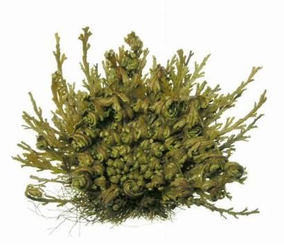 Selaginella Lepidophylla Plant Resurrection Lycopodium Jp Skr
