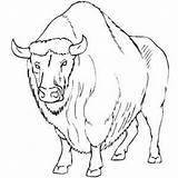 Buffalo Angry Coloring Head Printable Template Freeprintablecoloringpages Farm sketch template