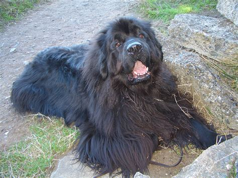 do newfoundlands shed hair how much does a newfoundland cost howmuchisit org