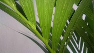Kentia Palme Braune Blätter : komische braune dinger an kentia palme seite 1 frostsch den krankheiten sch dlinge ~ Watch28wear.com Haus und Dekorationen