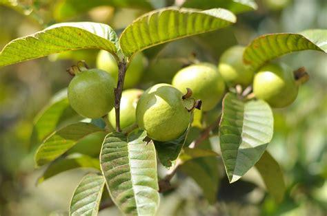 guava taste  nov   tropical fruit