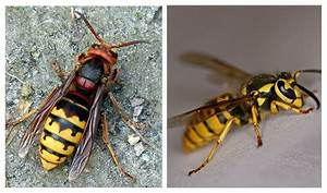 Hornets vs. Yellowjackets – How to Tell the Two Wasps Apart