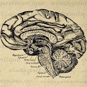 Printable Image Brain Cross Section Digital Medical