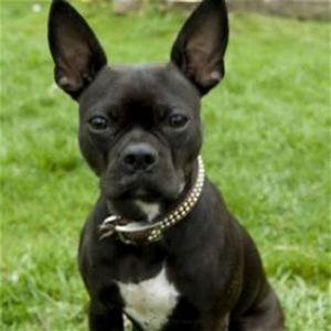 Bug Dog Breed Information and Facts