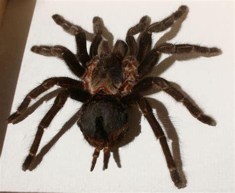 Mexican Black Velvet Tarantula, Newly Framed