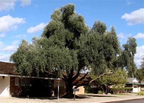 fruitless olive tree growth rate top 28 fruitless olive tree growth rate fruitless olive trees farm nursery california olea