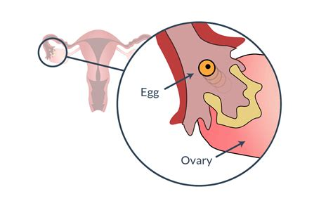 Ovulation Understanding Ovulation To Get Pregnant