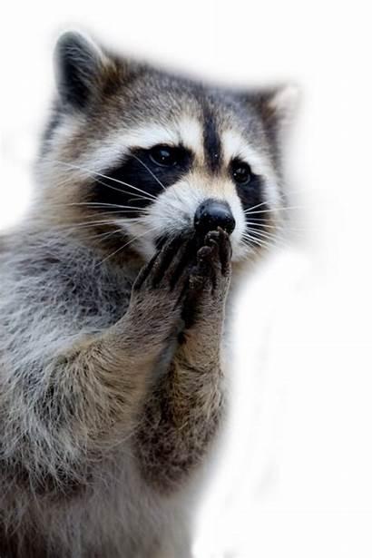 Raccoon Racoon Clipart Mapache Raccoons Transparent Background