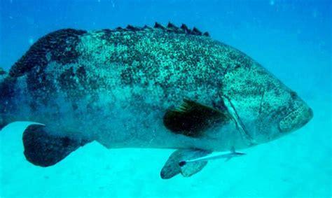 grouper goliath sea remora reefs tropical under virgin islands caribbean found wreck appeared catamaran chikuzen bvi snorkeling lend trailing again