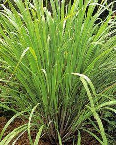 plante anti moustique exterieur plantes anti moustiques sur plantes anti moustiques repousser les moustiques et