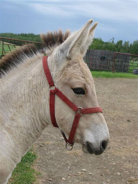 mule fjord horse mix norwegian horses breeds donkey mules donkeys cross draft mixed clydesdale equine thoroughbred dogs horseforum