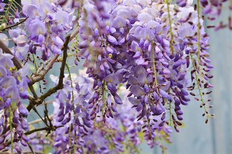 planting a wisteria wisteria how to plant grow and care for wisteria plants the old farmer s almanac