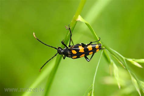 Koksngrauzis (Leptura quadrifasciata) - Vaboles ...