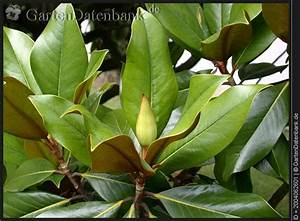 Magnolie Blätter Erfroren : bild immergr ne magnolie magnolia grandiflora foto ~ Lizthompson.info Haus und Dekorationen