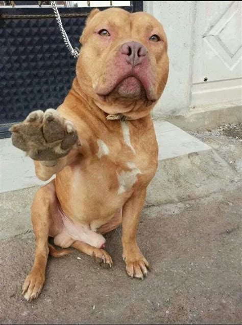 pit photos high five dude pit bull terrier for the love of dogs
