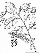 Chokecherry Coloring Coloringpages101 Cherries Pages sketch template