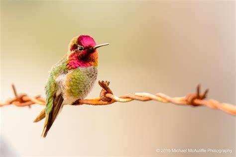 michael mcauliffe photographyanna s hummingbird archives