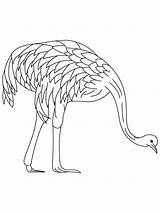 Emu Coloring Pages Farmed Printable Template Birds Recommended Getcolorings Colors Mycoloring sketch template