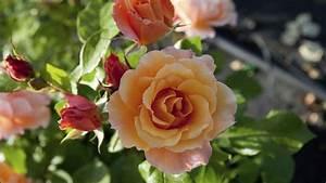 Pflanzen Für Nordseite : rosen im halbschatten pflanzen diese sorten sind empfehlenswert ~ Frokenaadalensverden.com Haus und Dekorationen