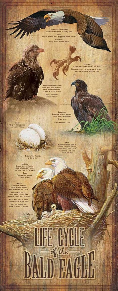 life cycle   bald eagle    wood sign wild wings