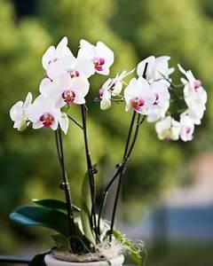 Comment Soigner Une Orchidée : comment faire refleurir une orchid e questions du mois ~ Farleysfitness.com Idées de Décoration