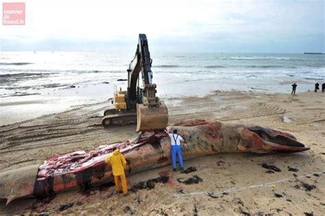 magasin sables d olonne vid 233 o une baleine de 18m 233 chou 233 e aux sables d olonne vend 233 e