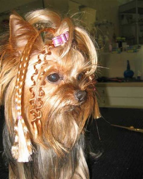 small dog christmas outfits 25 best ideas about yorkie hairstyles on pinterest