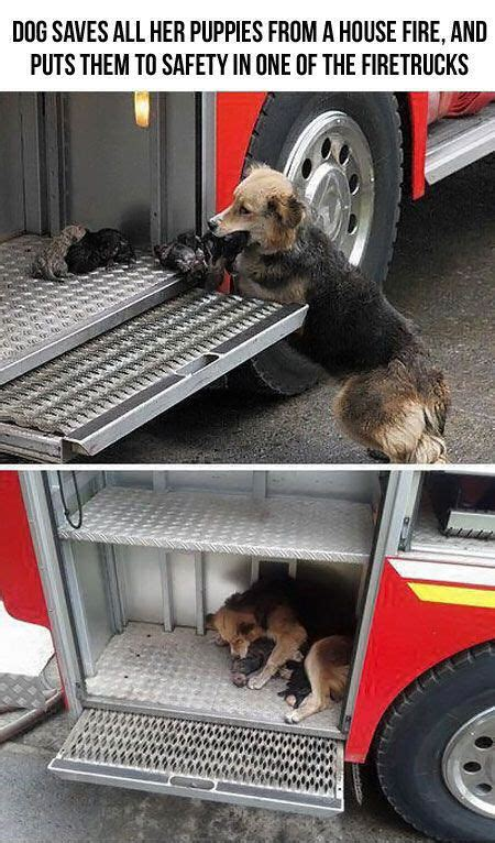 dog saves   puppies   house fire  puts