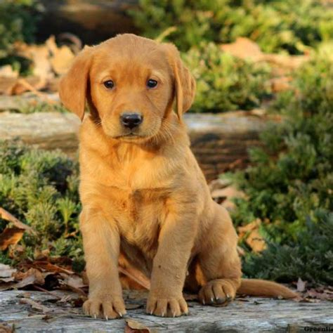 Golden Labrador Puppies  Wwwpixsharkcom Images