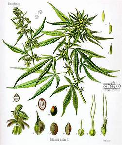 Marijuana Timeline  U2013 The Cycle Of Cannabis