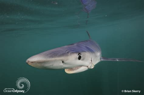 Sharks Off Cape Cod Time To Move Past 'jaws' Toward A New