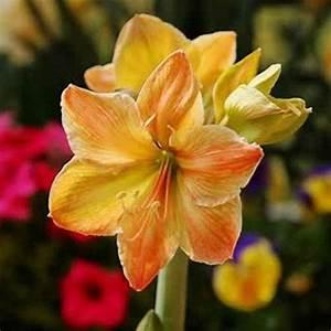 Amaryllis Zum Blühen Bringen : 120 besten amaryllis bilder auf pinterest amaryllis ~ Lizthompson.info Haus und Dekorationen