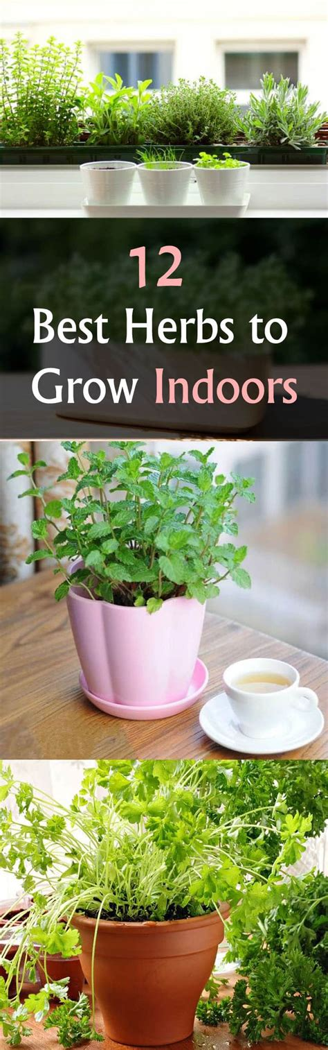 indoors grow herbs herb indoor garden windowsill sun basil balconygardenweb rosemary oregano