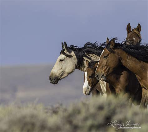 wild horses mares mountain fine prints spay foals blm disastrous study plans comment please