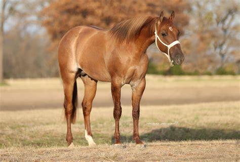Red dun roan yearling stallion by METALLIC CAT x Jo Lesa ...