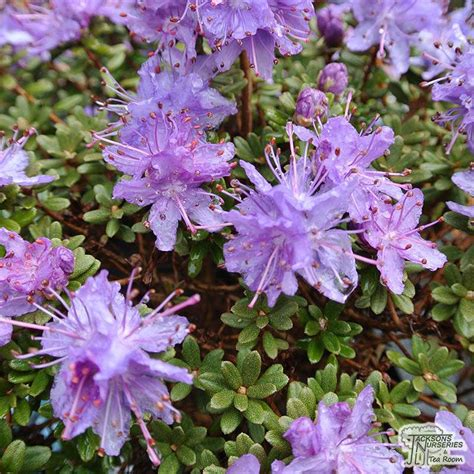 buy rhododendron impeditum select dwarf rhododendron
