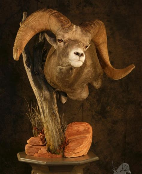 images  sheep mounts  pinterest horns
